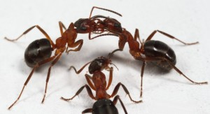 Formica exsecta ants exchanging food by trophallaxis