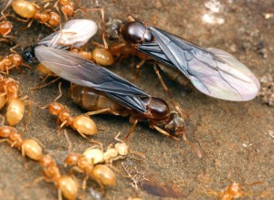 Lasius nearticus. Two virgin queens (on the right) and one male (on the left) ready to depart on their mating flight. After mating, the queens will shed their wings and try to found a new colony.