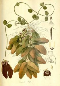 Malayan Urn Vine. You can clearly see the two different types of leaves.  Picture from 'Plantae Asiaticae rariores' by Nathanial Wallach