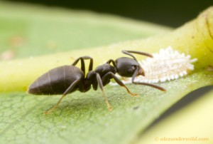 The white-footed ant. Picture by Alex Wild (www.alexanderwild.com)