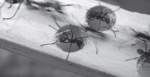 Here you can see how the ants plug holes in the experiment of Powell and Franks
