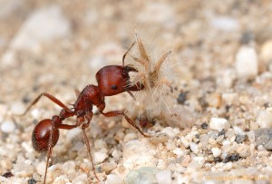 Pogonomyrmex barbatus carrying a seed back home