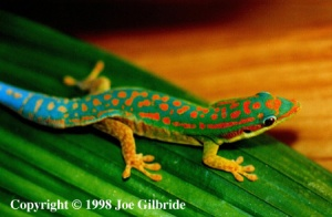 Phelsuma cepediana (Copyright Joe Gilbride)
