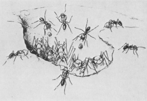 Conomyrma dropping stones in the nest entrance of Myrmecocystus (Drawing by Turid H