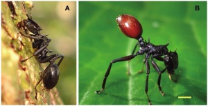 To the left, a normal Cephalotes ant. On the right, an infected ant, with a red abdomen that it waves high in the sky to look like a berry.