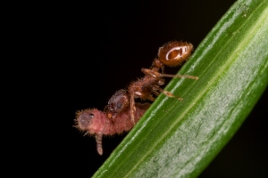 Maculinea caterpillar being carried by a Myrmica worker. Picture by David R. Nash