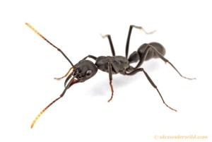 A Pachychondyla ant (picture by Alex Wild)
