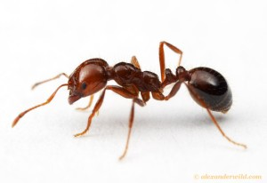 A Fire ant (Solenopsis invicta) worker. Picture by Alex Wild.