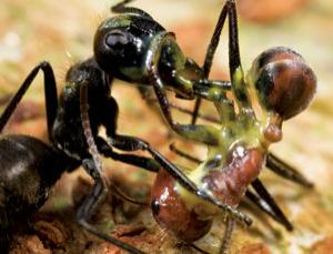 Exploding Ants Antyscience