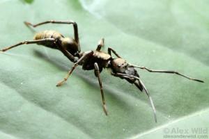Sphecotypus spider