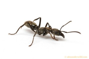 The Pachychondyla ant which is the model for the spider to mimic