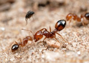 Peudoacteon trying to find a suitable ant to parasitize. Picture by Alex Wild.