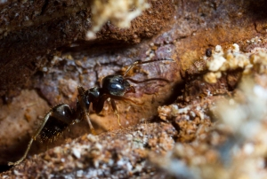 Lasius ant walking through a narrow tunnel.