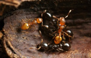 Temnothorax slaves (light brown) together with their slavers. Picture by Alex Wild