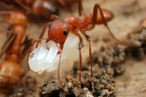 Polyergus ant carrying stealing a pupa, which will turn into a future slave. Picture by Alex Wild.