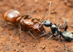 An amazon ant queen with an enslaved worker