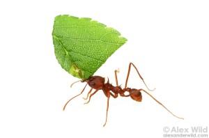 Atta Leaf cutter ant