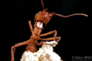 Leafcutter ant (Acromyrmex echinatior) worker with white 'dust'.